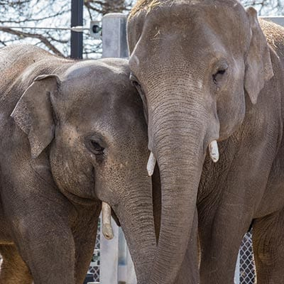 Two elephants at the denver zoo