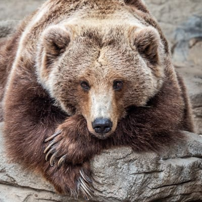 Grizzly bear laying on rock