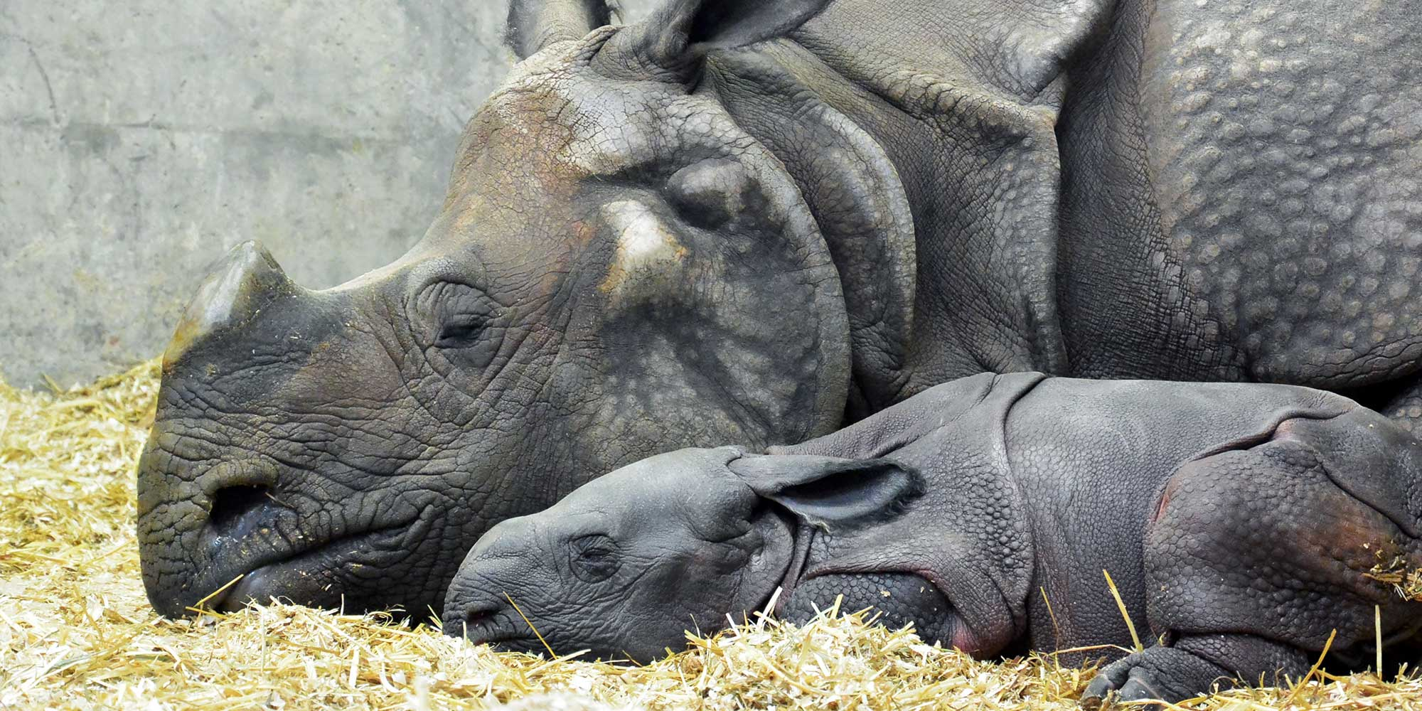 baby rhino with mom at denver zoo