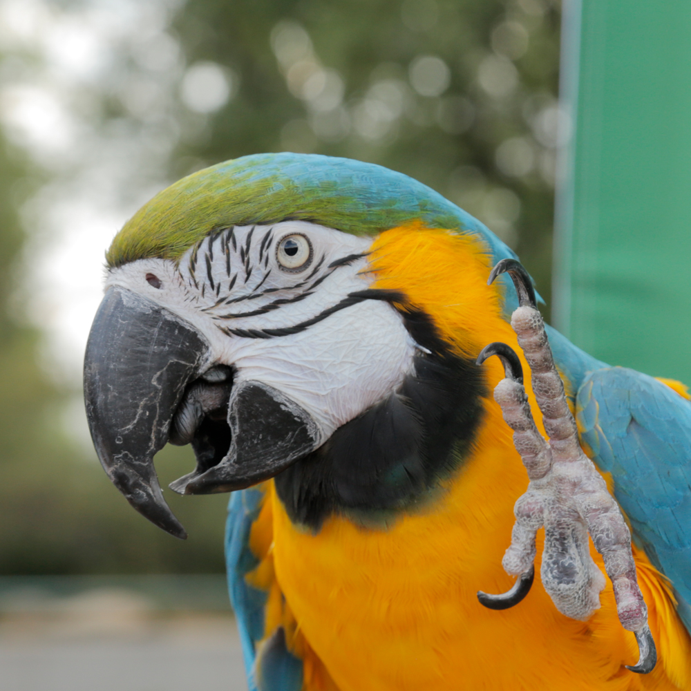 Up Close Look Parrots Maccaw Feature