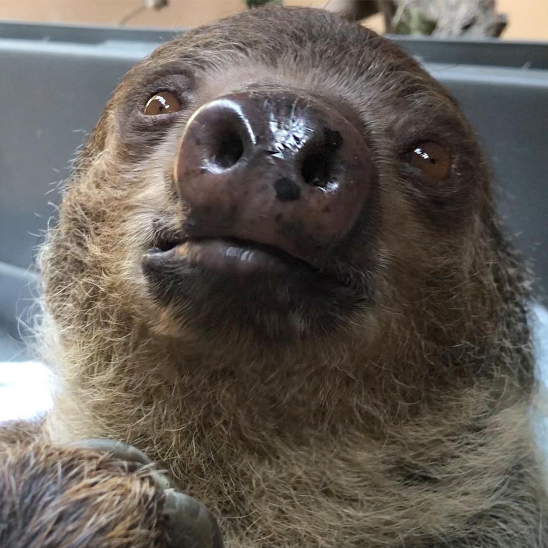 Sloth_ZooTales_0002_LinnesTwoToedSlothCharlotte_DIAZBORDA_20201001_018